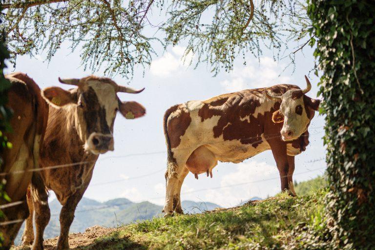 Kakovostna krma je bistvenega pomena za okusnejše in bolj kakovostno meso