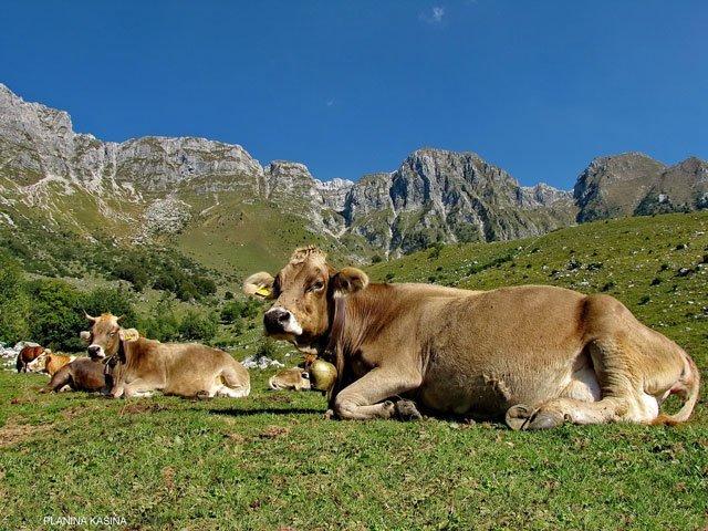Kako krma vpliva na kakovost mesa?