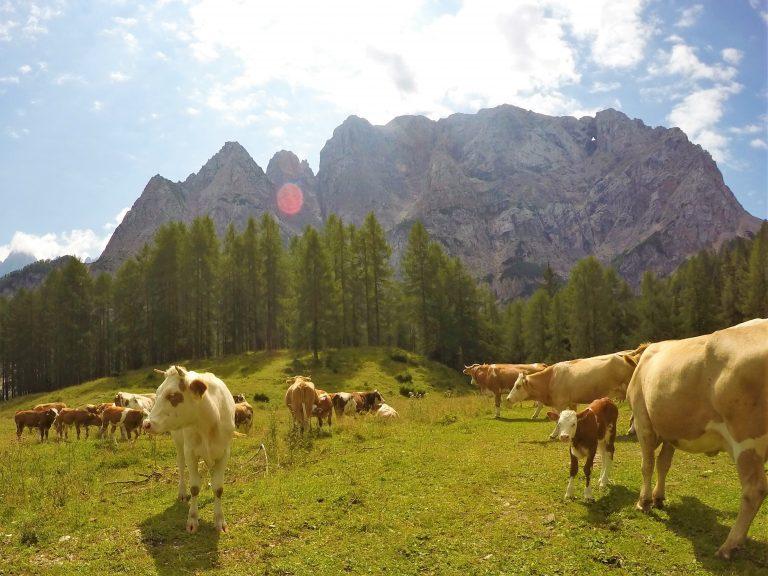 Zakaj je goveje meso z znakom »izbrana kakovost - Slovenija« najboljša izbira