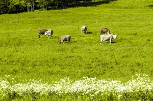 Mleko v Sloveniji prirejamo predvsem na družinskih kmetijah, kjer ima vsaka krava svoje ime