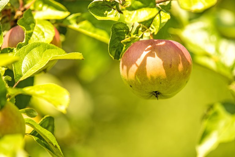 Slovensko sadje tudi pri trgovcih