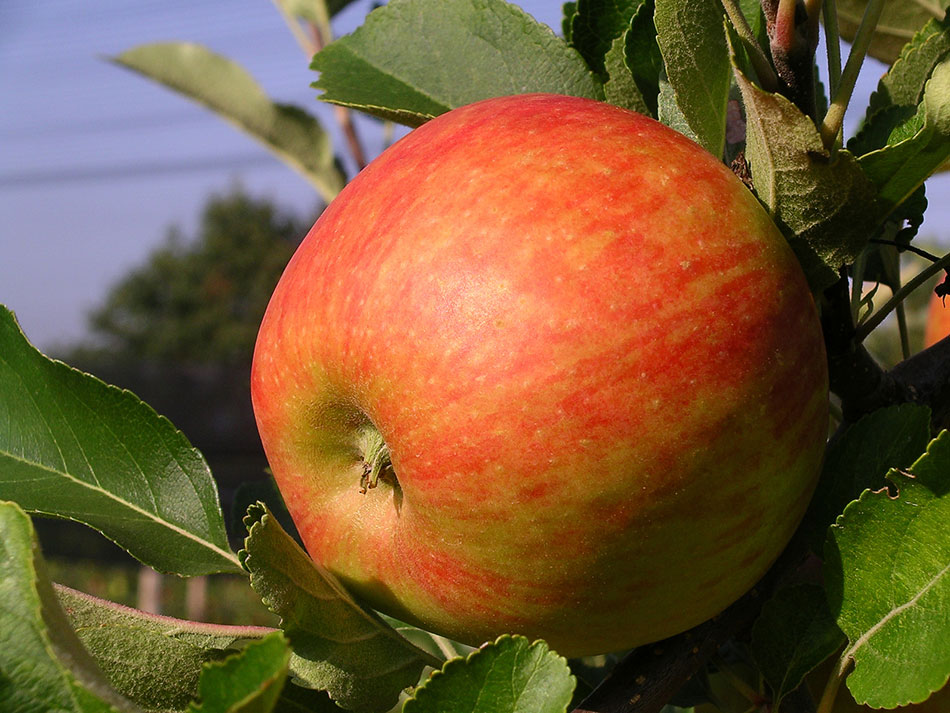 Jabolka – jih res poznamo in cenimo dovolj? Sorte jabolk.