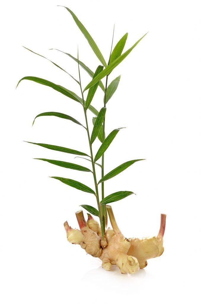 Ingver - cela rastlina z listi