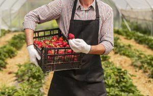 Nabiranje jagod - domača delovna sila