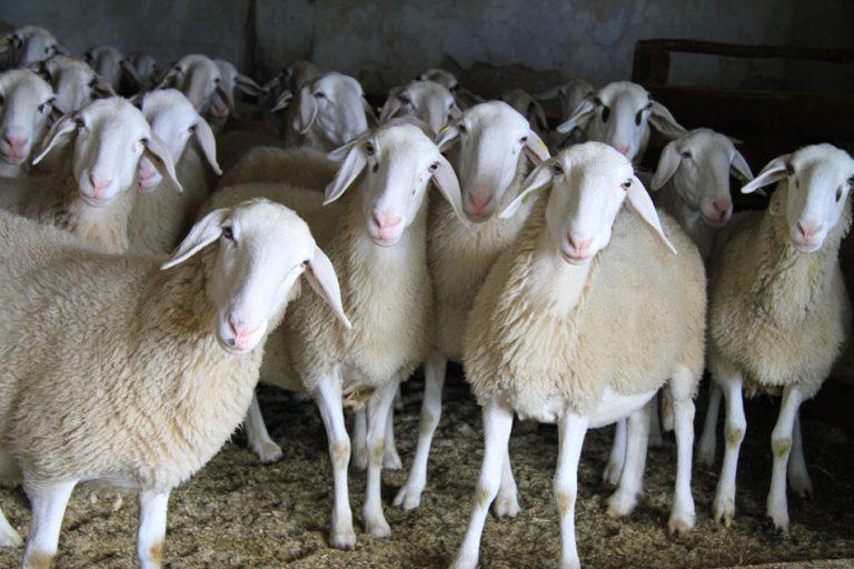 Ark kmetije in središča ohranjajo slovenske avtohtone pasme domačih živali