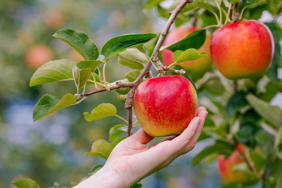 Obiranje jabolk