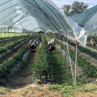 Delavci obirajo jagode v topli gredi