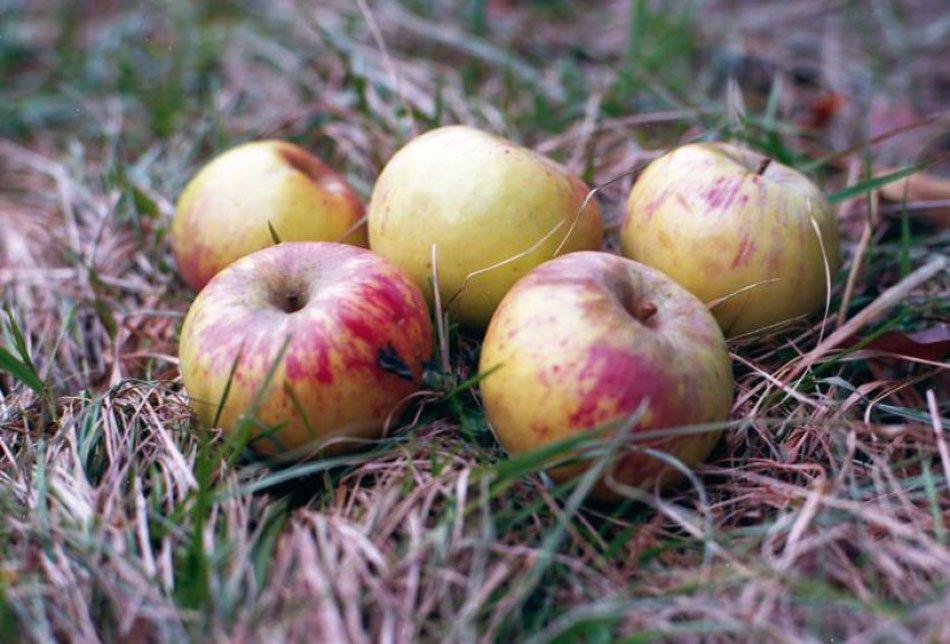 Stara sorta jabolk - na travi