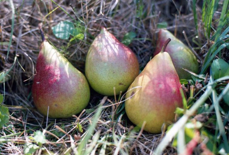Stare sorte hruške Beldonea v travi