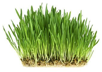 Pšenična trava na beli površini s koreninami