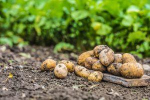 Krompir na zemlji