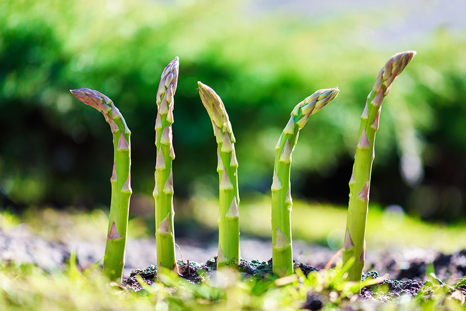 Šparglji, ki rastejo iz zemlje