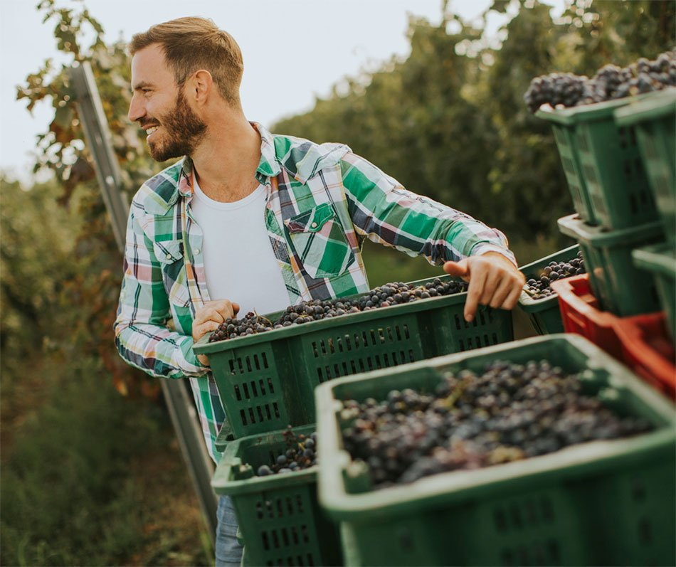 Moški ob zabojih grozdja - trgatev
