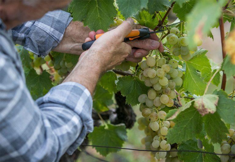 Trgatev grozdja